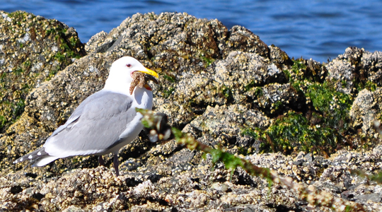 seagull_seastar